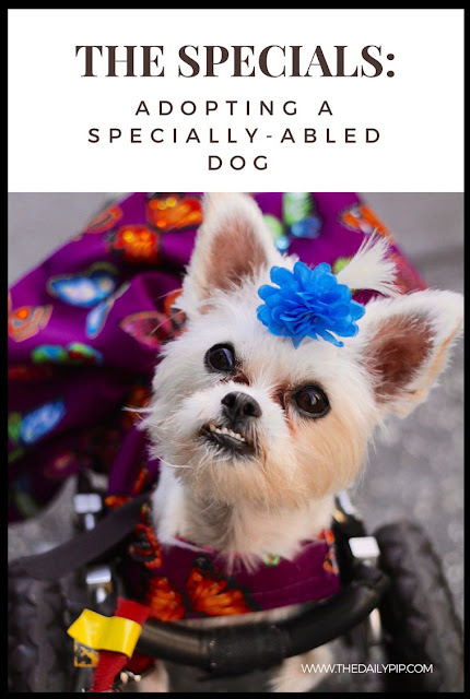 Little Lexi, the pint-size advocate for the adoption of disabled (specially-abled) dogs