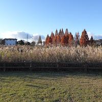 打上川治水緑地 メタセコイアの紅葉とススキ