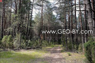 Негорельский лесхоз. Дорога в СТ ''Лесное-Ливье''. Лесной перекресток