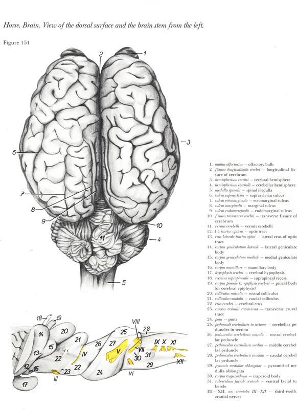 horse-cavalo-skull-anatomy-anatomia-cranio-maxilar-sinusal-sinuses-vetarq-muscle-musculatura-bone-osso-veias-arterias-dentição-equinos-eye-olho-glote-traqueia-esofago-palato-cerebro-brain