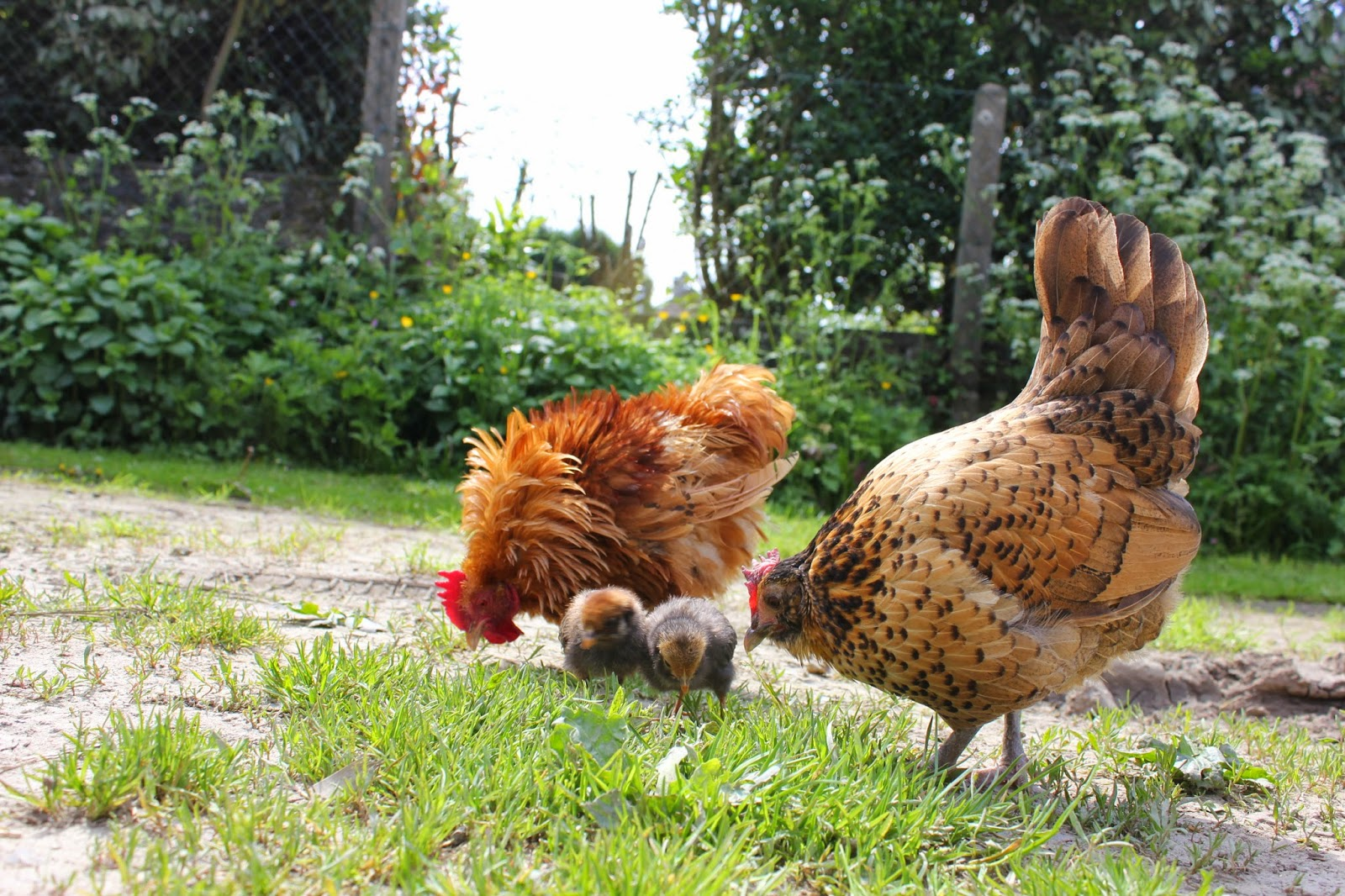 Hen with frizzled rooster and chicks