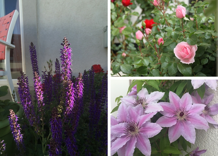 Salvia, roses, and clematis // Garden Update: Mid May 2016 // WWW.THEJOYBLOG.NET