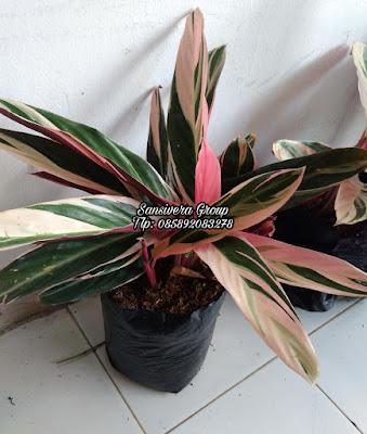 Jual Tanaman Hias Calathea multi color