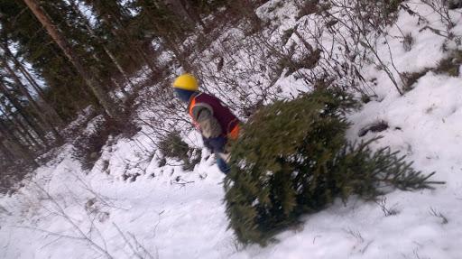 joulukuusi metsästä