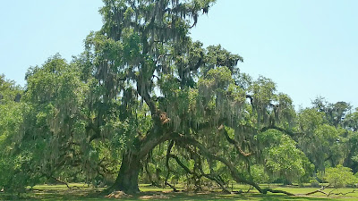 Fontainebleau State Park live oak tree