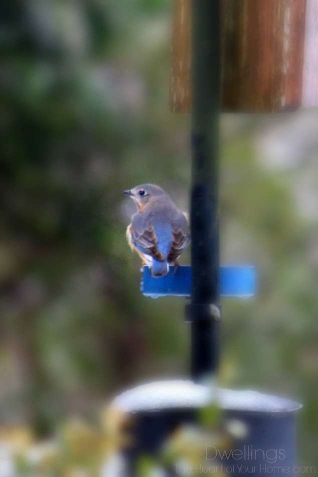 bluebird up close