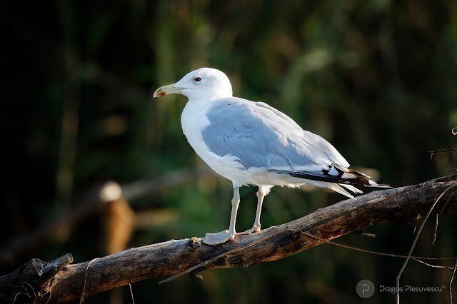 The Caspian gull (Larus cachinnans / Pescarus Pontic)