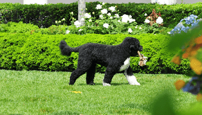 Are Portuguese Water Dogs Hypoallergenic?