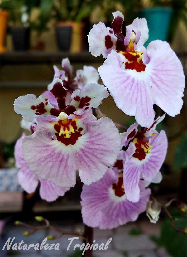 Flores de una especie del género Tolumnia