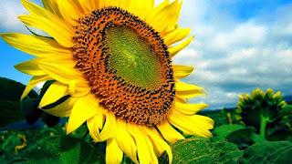 Gambar Bunga Matahari Paling Indah 200014_Sunflower