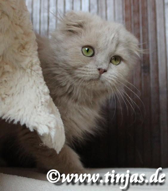 Kitten Highlandfold Tinjas Katzenzucht