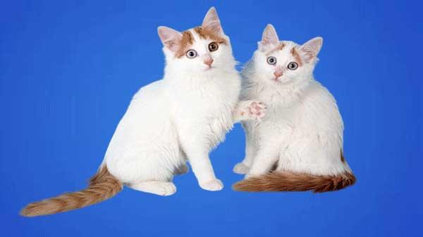 Cat breeds | Turkish Van