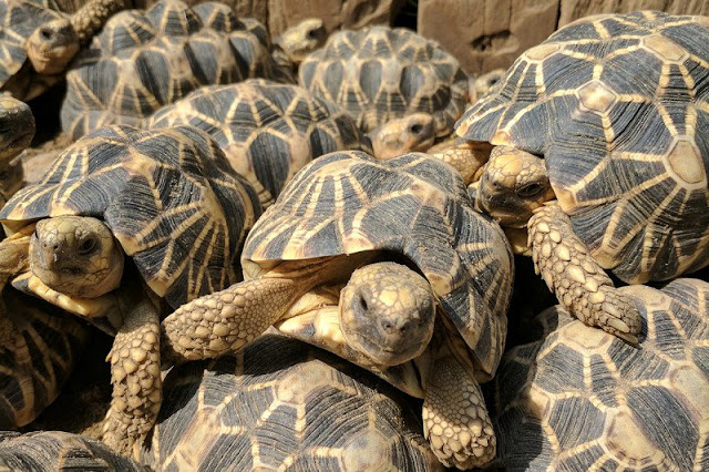 Star tortoise makes meteoric comeback