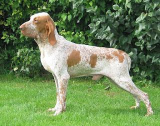 Bracco Italiano-pets-dog breeds
