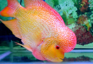 membeli Ikan Louhan