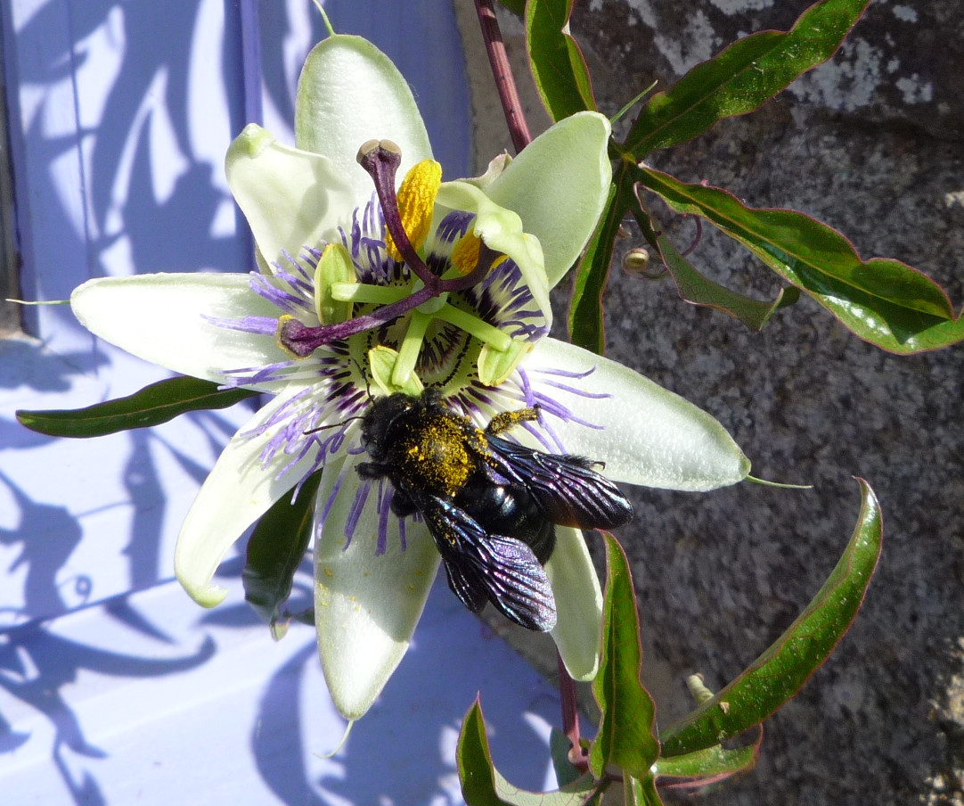 European Black Bee