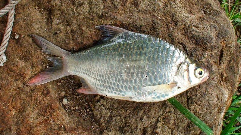Gambar Ikan Tawes