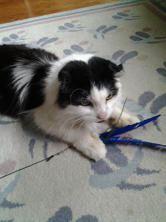 Cordel, a black and white cat, has caught his feather toy.