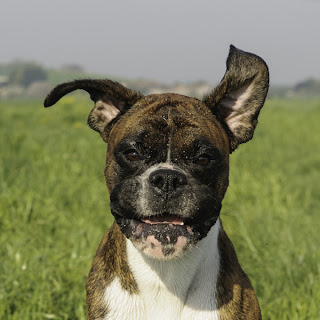 A playful boxer dog with open mouth and flapping ears