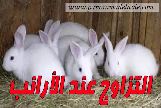 عمر التزاوج عند الأرانب - فترة الحمل عند  الأرانب - الولادة عند  الأرانب
