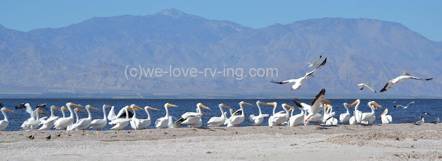 Most of the pelicans are watching the flying ones at the end of the line.