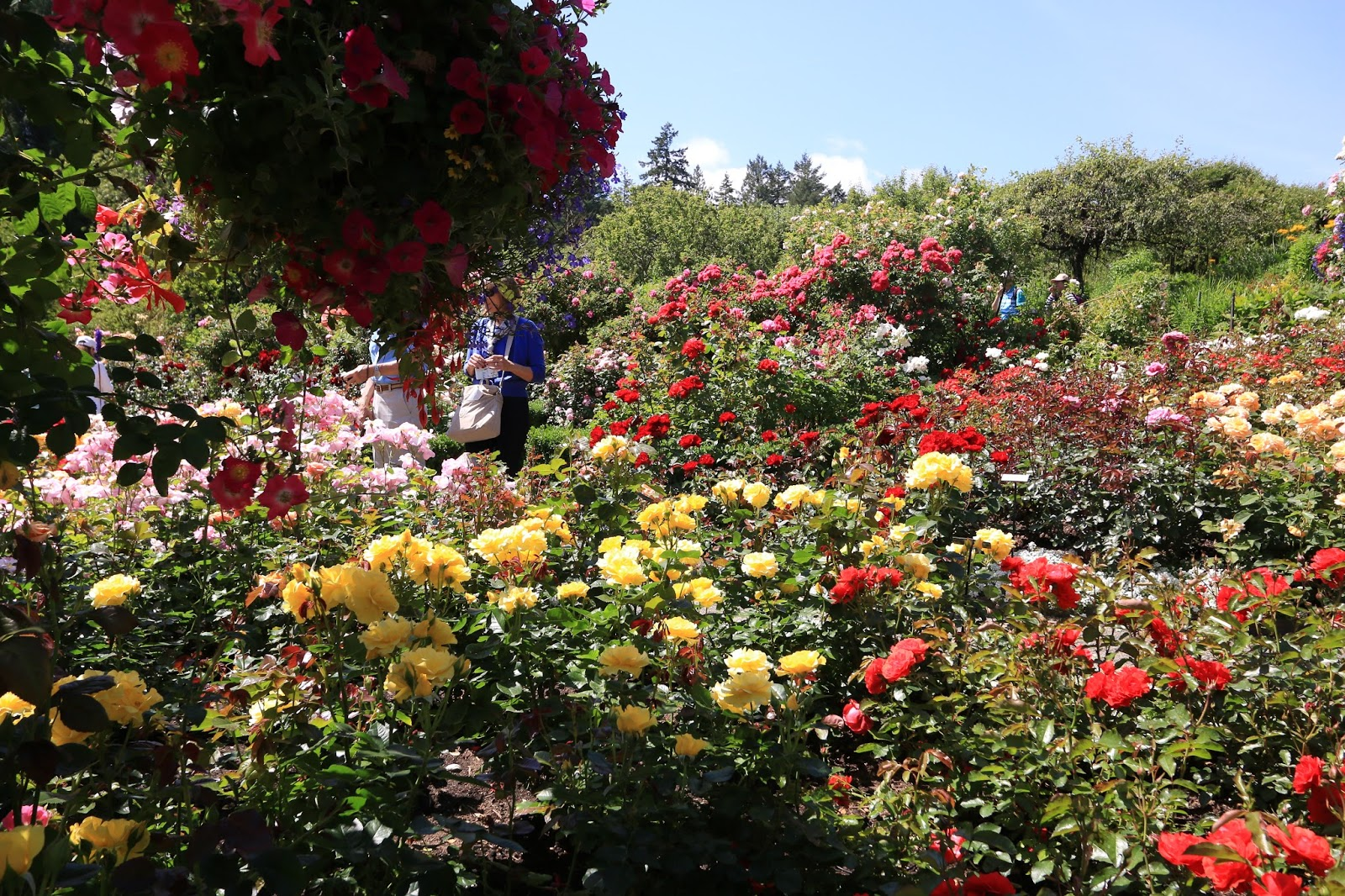 Delights of the Heart: Butchart Gardens, Roses Everywhere!