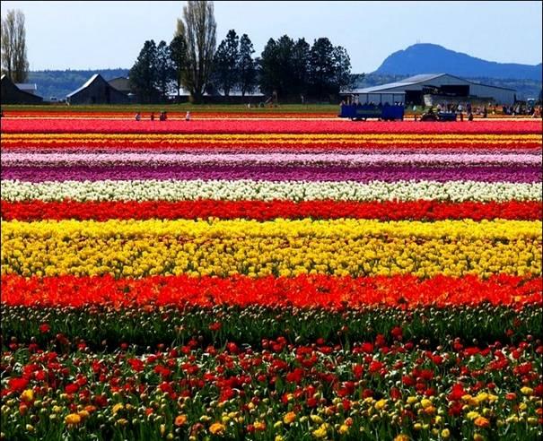 مزارع الزهور image001-765623.jpg