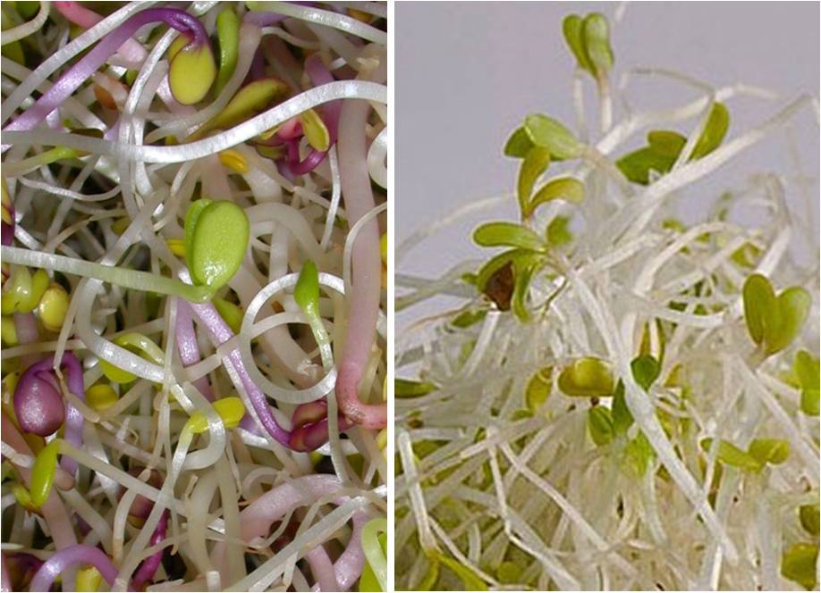 Why sprout and which sprouts are the healthiest? (VIDEO)