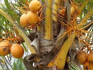 Cocotier - Cocos nucifera - Noix de Coco