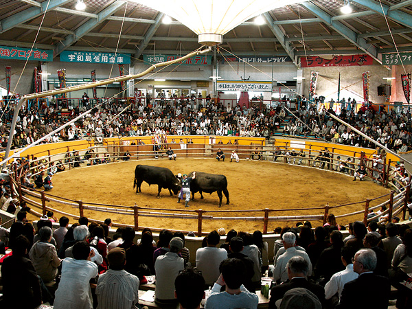 Uwajima Bullfighting Convention, Uwajima City, Ehime Pref.