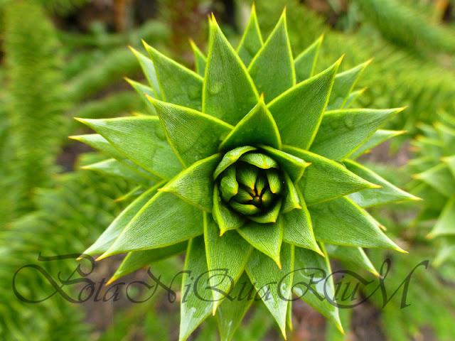 Botaniquarium - Araucaria araucana leaf bud