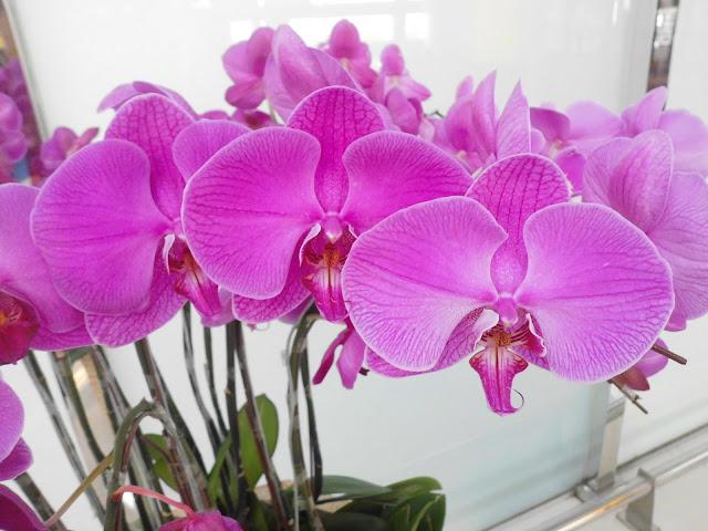 Pink Moon Orchid (Phalaenopsis amabilis)
