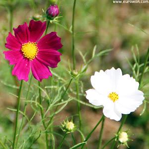 flores cosmos roja y blanca