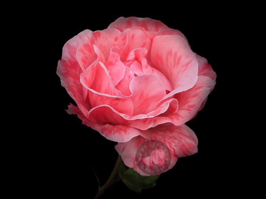 https://unodetanos.blogspot.com.es/2017/04/rosas.html