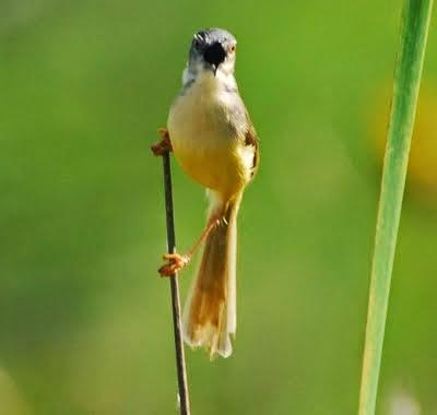 Kumpulan Foto Burung Ciblek Gunung Terbaik Foto Burung Kicau