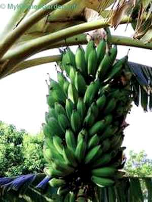 How to grow banana tree - Bananas Growing on tree