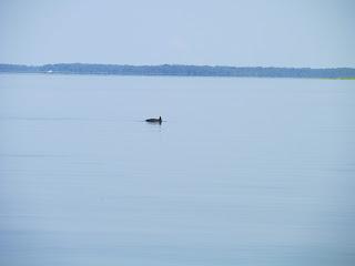 Dolphin jumping near Amelia Island