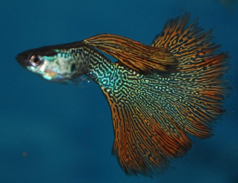 Manfaat Ikan Guppy dalam Aquarium