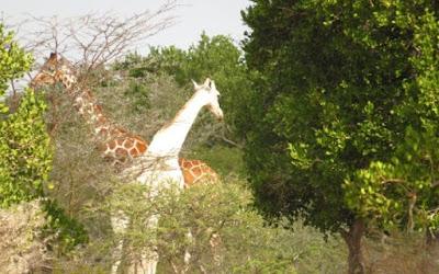 Rara girafa branca e sem manchas é vista no Quênia