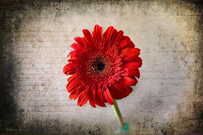 https://milena-ilieva.pixels.com/featured/red-gerbera-milena-ilieva.html