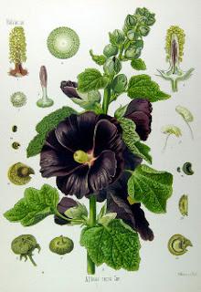 Malwa czarna