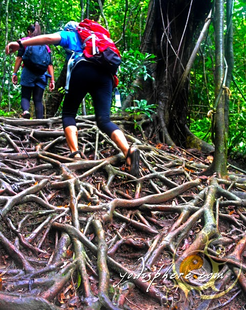 Tangled roots going up Mt. Pico de Loro makes the trail exciting hover_share