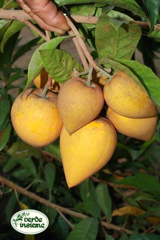 Natale torre e le sue specialit botaniche for Piante da frutto a 1000 metri