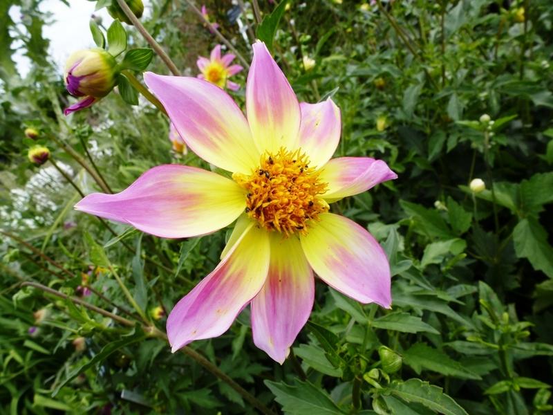 flor bicolor de dalia