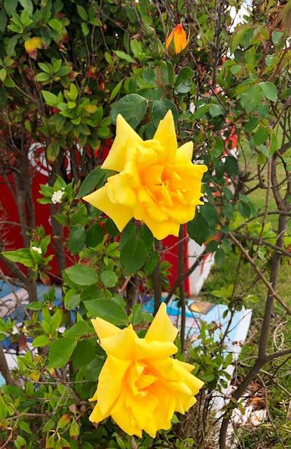 Rosas Amarelas - Yellow roses