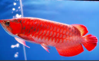 Jenis Ikan Ikan Arwana seper red