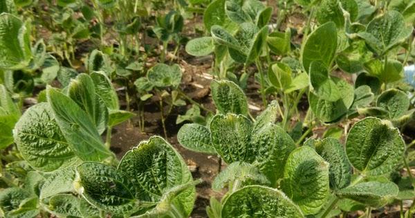 uncovering dicamba herbicide u0026 39 s wayward ways