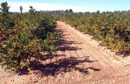 El segundo aforo citrícola sitúa la cosecha por encima de los cuatro millones de toneladas