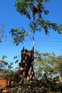 cut down Pochote tree