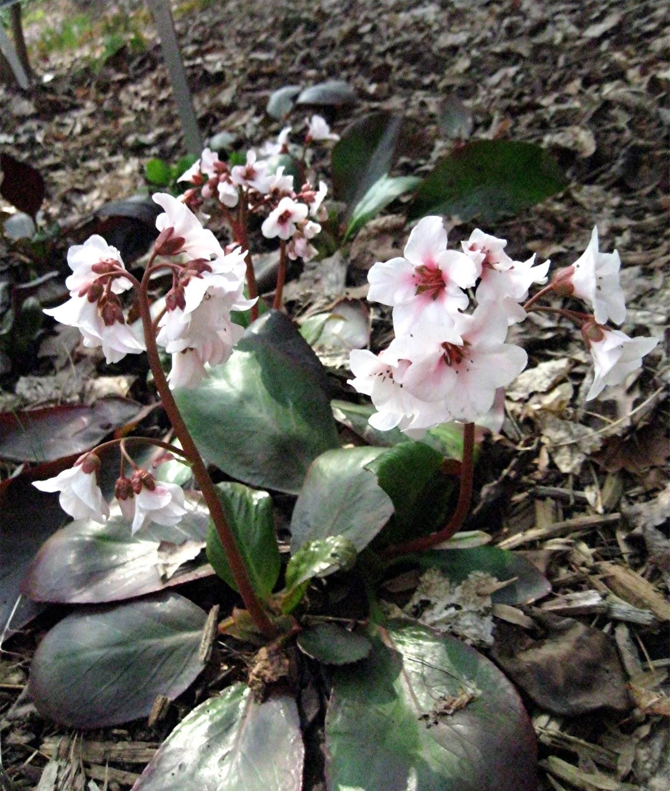 1003 Gardens: Bergenia Emeiensis 'Apple Blossom': A